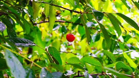 cereja : lonely berry of cherry becomes wet under a pouring rain. Summer rain in rustic cherry orchard