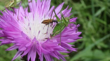 chabry : beetle and green grasshoppers eating nectar from a flower, cornflower, macro video Wideo