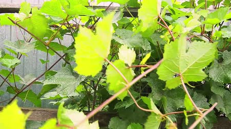 The vineyard, pruning of shoots. Stok Video