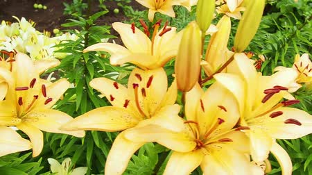 Yellow flowers on a background of green leaves. Lilies. Garden in the summer.