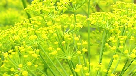 Dill inflorescence closeup. close-up. blooming dill in the summer, spring in the garden. Стоковые видеозаписи