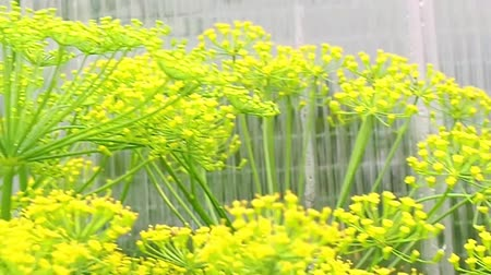 Dill inflorescence closeup. close-up. blooming dill in the summer, spring in the garden. Stok Video
