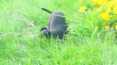 Beautiful Dog Pet Black Chihuahua Funny Eats Grass and Lick and Play and Look on Green Grass Lawn Outside