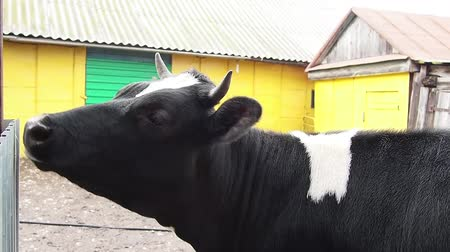 A brown-and-white steer in a farmyard.
