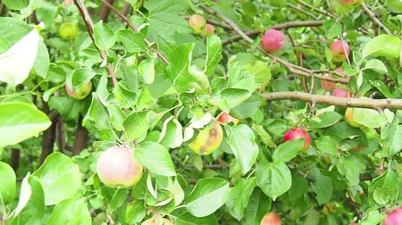 organic apple tree, organic apple garden red apples hanging on tree
