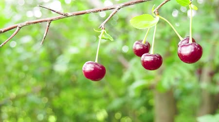 Closeup of fresh organic ripe cherris with dew or raindrops on a cherry tree in a fruit field in spring or summer. Healthy food fruit concept.