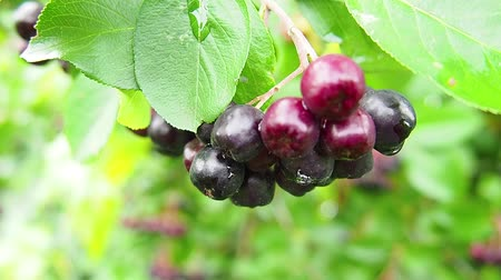 Chokeberry grows on the tree. A lot of branches and leaves. Small black fruit.