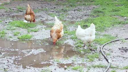 bird eggs : After the rain stops, chickens walk in puddles