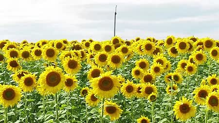 field of yellow sunflower flowers against a background of clouds. sunflower sways in the wind. Beautiful fields with sunflowers in the summer in rays of bright sun. Crop of crops ripening in field. Stok Video