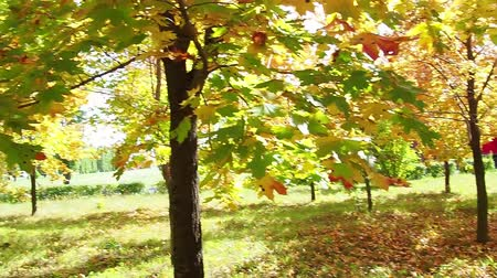 acer : A woman in blue sneakers walks in the Park. Beautiful autumn landscape with colorful foliage. Autumn season. Stock Footage