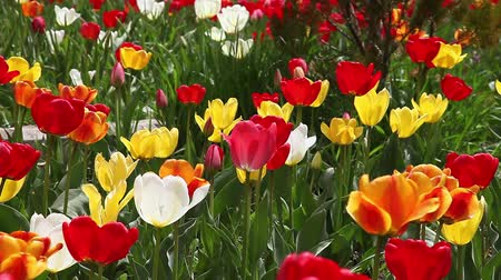 laleler : Beautiful field of red , yellow and white tulips