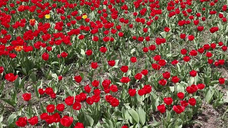 tulipany : Beautiful field of red tulips Wideo