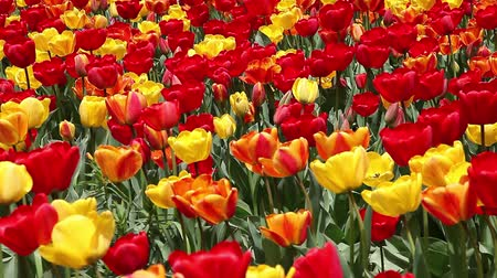 tulipany : Beautiful field of red and yellow tulips