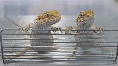 pogona : Beard dragon catch on metal grid