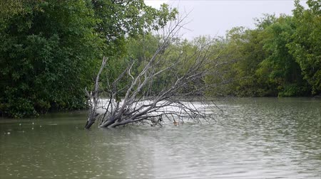 mangue : Falling rain at mangrove forest in Thailand