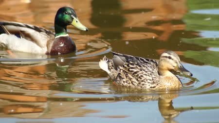 kaczka : A duck and a drake mallard swimming across the pond