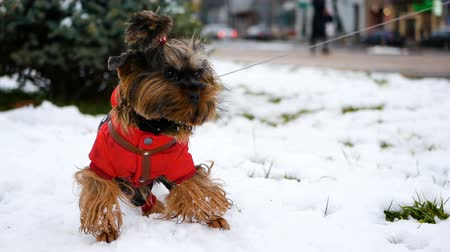 A small dog dressed in a jacket stands on the snow and looks into the distance. Home pet on a winter walk.