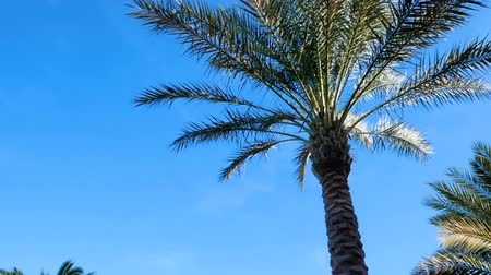 Tall palm against a blue sky background. Exotic Flora. The camera moves around the tree. Стоковые видеозаписи