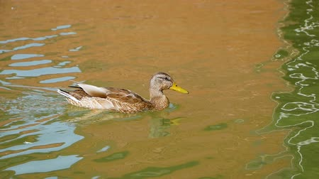 The duck swims on the lake and drinks not clean water. Wild birds close up. Fauna in the natural environment Stock mozgókép