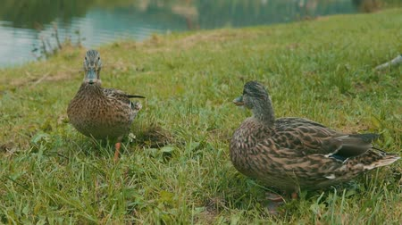 утки : Ducks on the lake bank on the green grass.