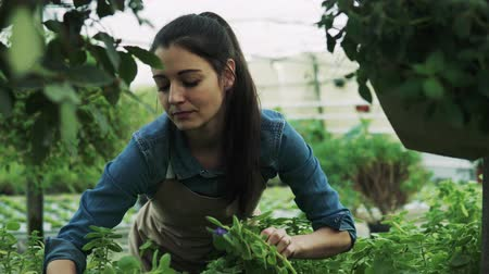 pot plant : Young woman gardener in a large greenhouse.