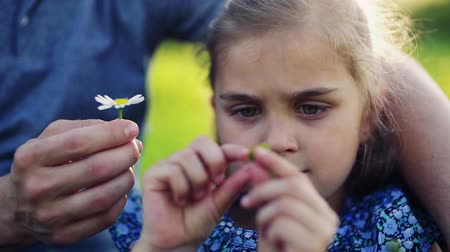 margaréta : A close-up of small girl with her father picking petals off a flower in spring nature.