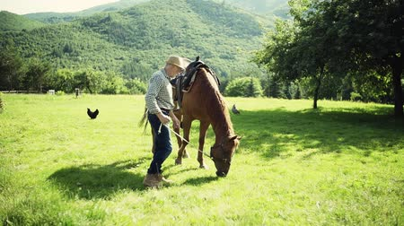 вести : A senior man holding a horse grazing on a pasture. Стоковые видеозаписи