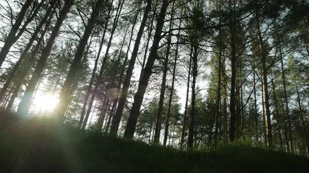 The sun shines through the trees in the forest Stock Footage