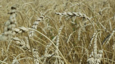 kader : wheat field