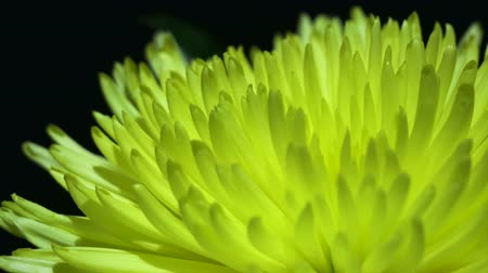 pioenroos : Yellow peony rotates against a black background Stockvideo