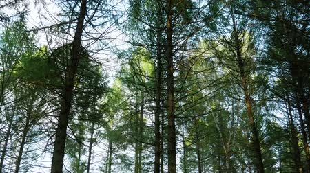 Walking through the forest and looking at the trees. Moving, green. Stock Footage