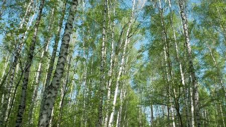 faia : Walk in the birch forest