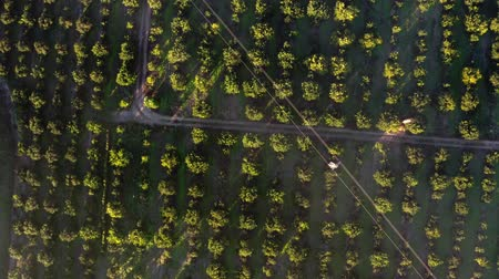 overflight of an orange grove, aerial view Stok Video