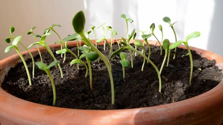 girassóis : Time-lapse footage of growing small sunflower seeds.
