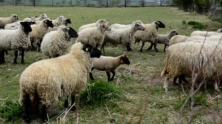 koyun : A flock of grazing shy white sheep behind a fence on a farm. Sheep have yellow marks in their ears.