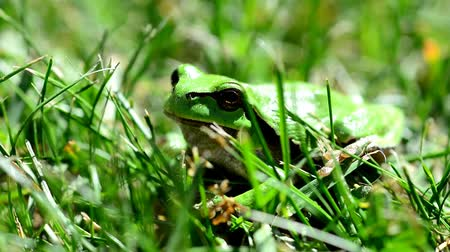 žába : Closeup of the Green European Tree Frog (Hyla arborea) Sitting in Grass.