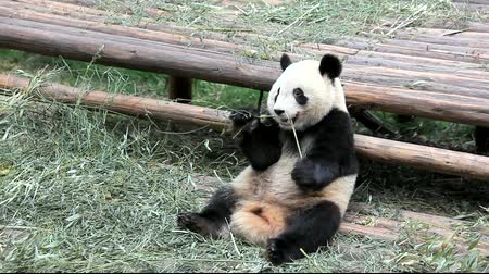 gigante : Funny giant panda eating bamboo in Chengdu park, Sichuan, China