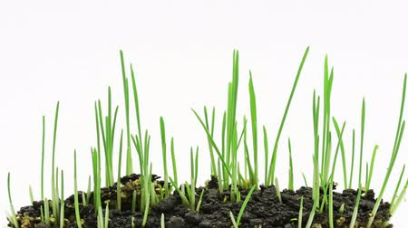 cultivar : Accelerated growing of fresh new green grass isolated on white background.