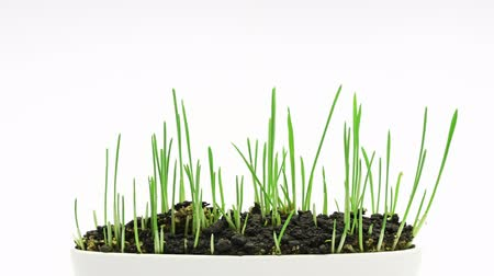 cultivar : Accelerated growing of fresh new green grass in white plate isolated on white background.
