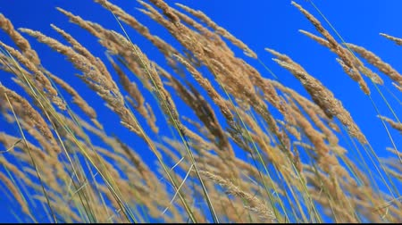ventoso : Native grass spikelets flapping on the wind in front of blue sky