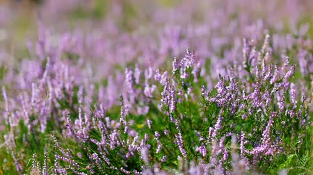 ventoso : Calluna Vulgaris (heather) bush flapping in wind, macro view.