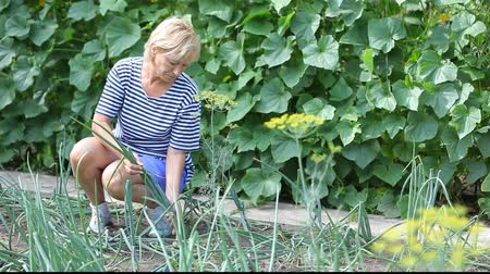 cebula : Middle aged woman harvesting onion by hands in the garden bed