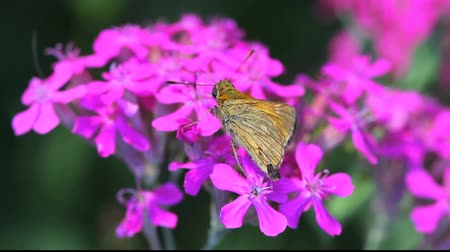 ibolya : Monarch butterfly landing and eating nectar on pink phlox flower