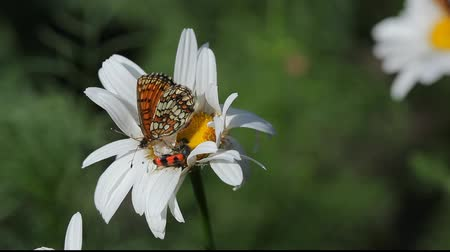 ibolya : Monarch butterfly landing on camomile flower with bug