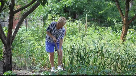 cebula : Middle aged woman with spade harvesting garlic in the garden bed