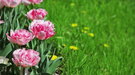 springtime : Pink tulips on flower bed with green grass