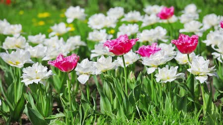 springtime : Pink and white tulips on flower bed