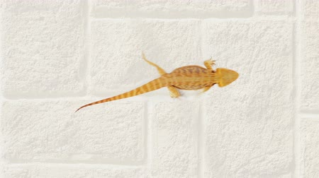 pogona : Lizard (agama ) running over sand background, funny traffic concept