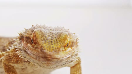 pogona : Bearded dragon (agama lizard) close-up portrait over white