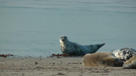 klipek : Gray Seals on Helgoland in Germany